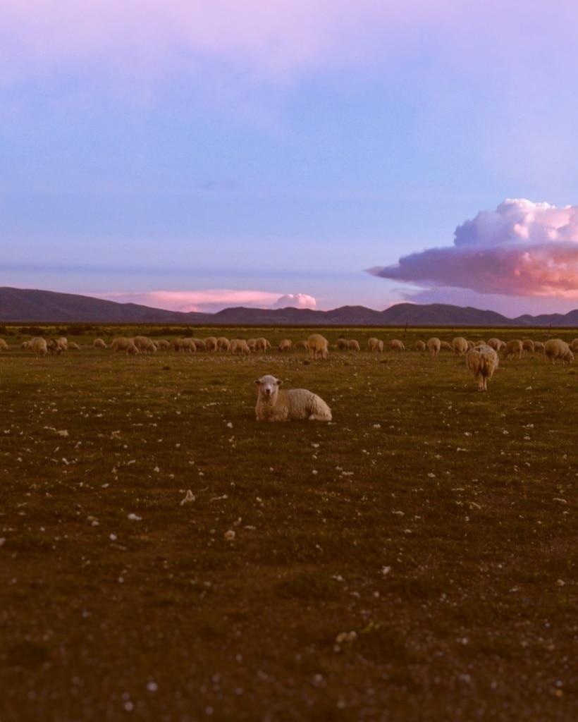 Schafsherde in Jujuy Argentinien