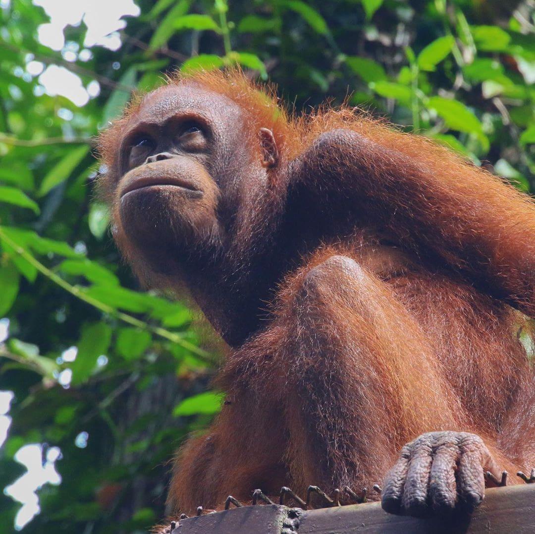 Na, wen haben wir denn da? Ein Orang-Utan gespottet auf Borneo. Heute ist der Internationale Tag des Orang-Utans, der auf den südostasiatischen Inseln Sumatra und Borneo lebt. Seit vielen Jahren gilt der Orang-Utan als bedroht, da durch die Zerstörung der Regenwälder u.a. für die Produktion von Palmöl immer mehr Lebensraum zerstört wird. #orangutans #wildlife #borneo #sumatra #internationalorangutanday #travel #saveorangutans #wildlifeplanet #nature #indonesia #malaysia #reportervorort #travelgram