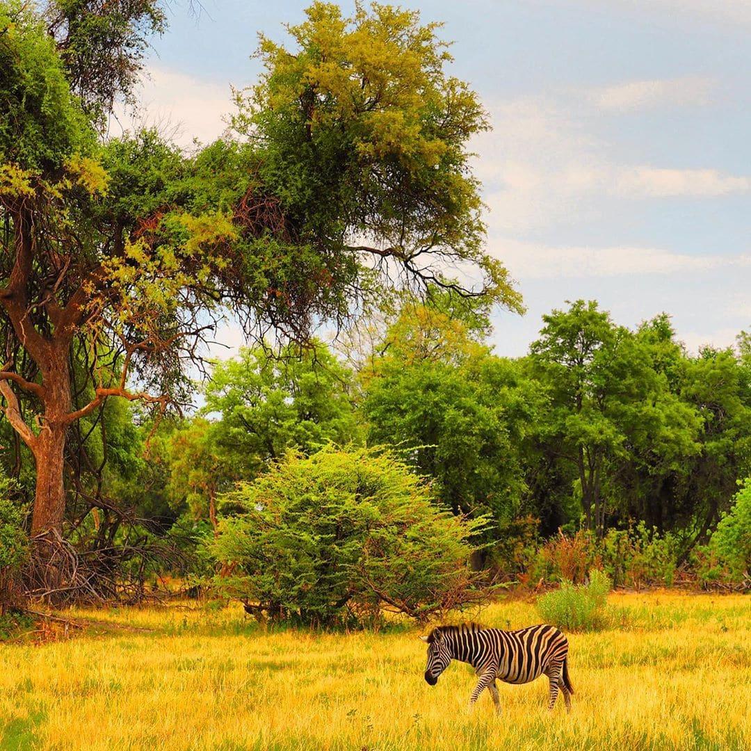 """Wunderschön. Mit einem Wort lässt sich die #Natur im Okavango-Delta in #Botswana beschreiben. So beeindruckend, dass es keine """"once in a lifetime""""-Erfahrung bleiben darf. #botswanasafari #botswanatourism #safari #wildlifephotography #reportervorort #zebra #outdoorproject #welivetotravel #welivetoexplore #travelgram #mytinyatlas #passionpassport"""