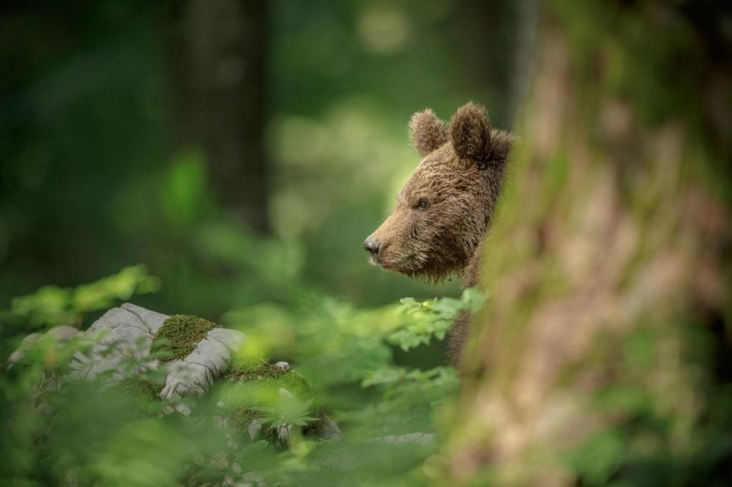 Bär in Slowenien