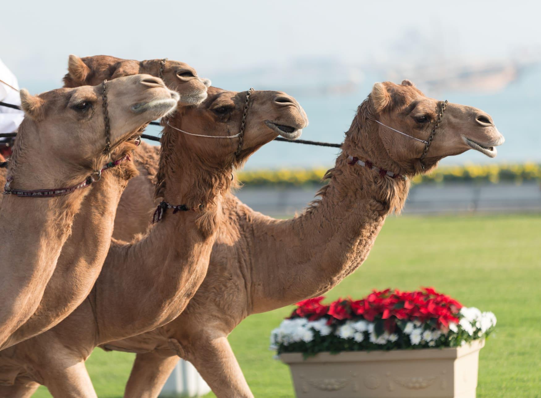 Vier Kamele bei Kamelrennen in Qatar