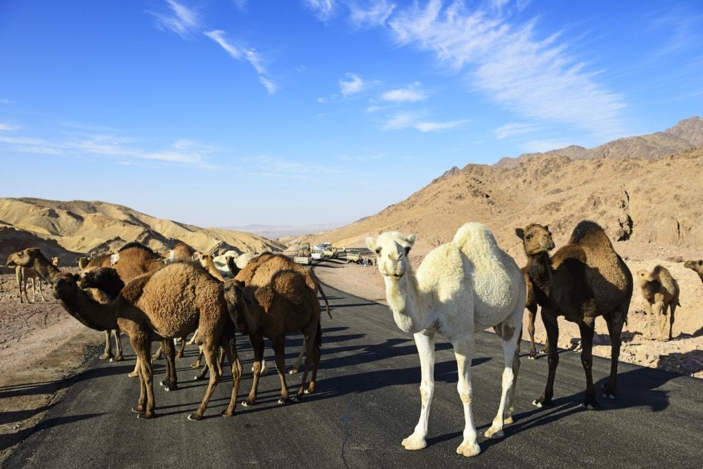 Bei Al-Manshijja ind Jordanien versperren gerne mal Kamele den Weg.