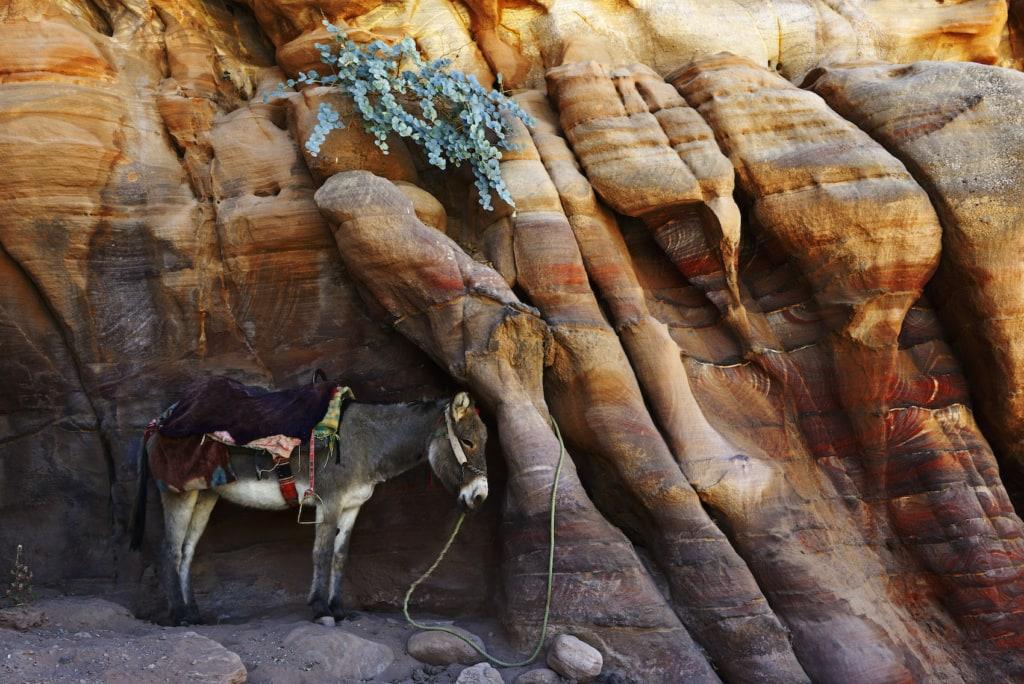 Ein Esel wartet in Petra, Wadi Musa, geduldig auf seinen Besitzer.