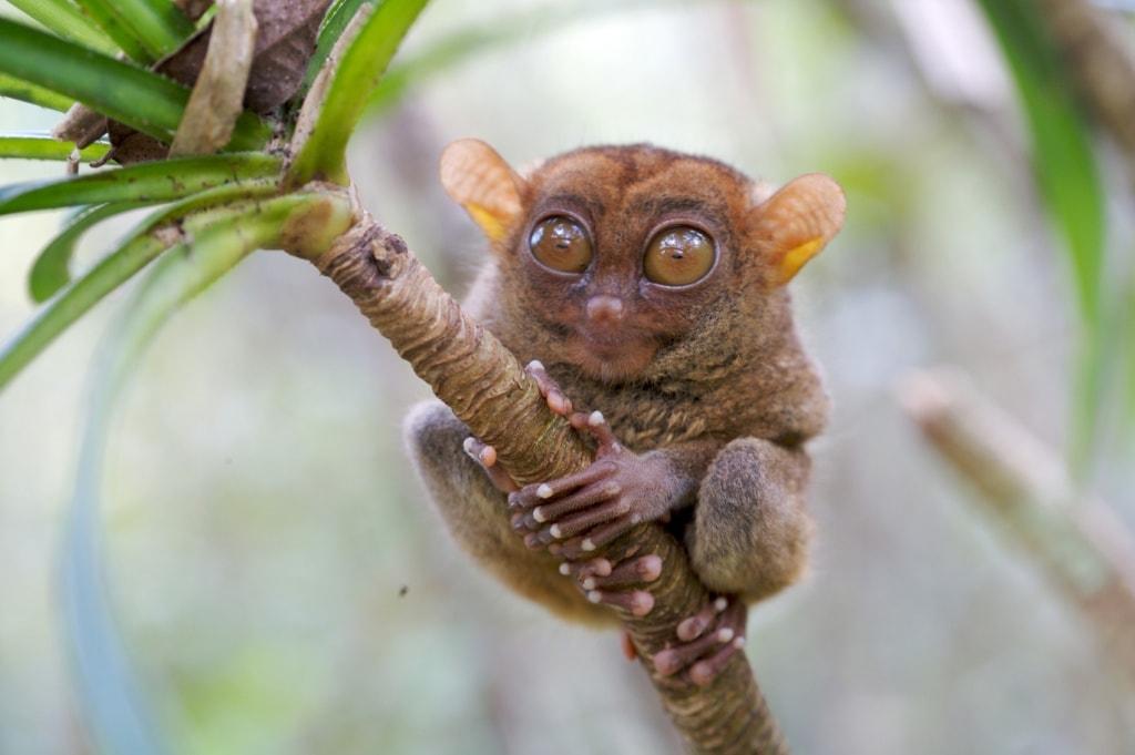 Tarsiers sind die kleinsten Affen der Welt – und nur auf den Philippinen beheimatet.