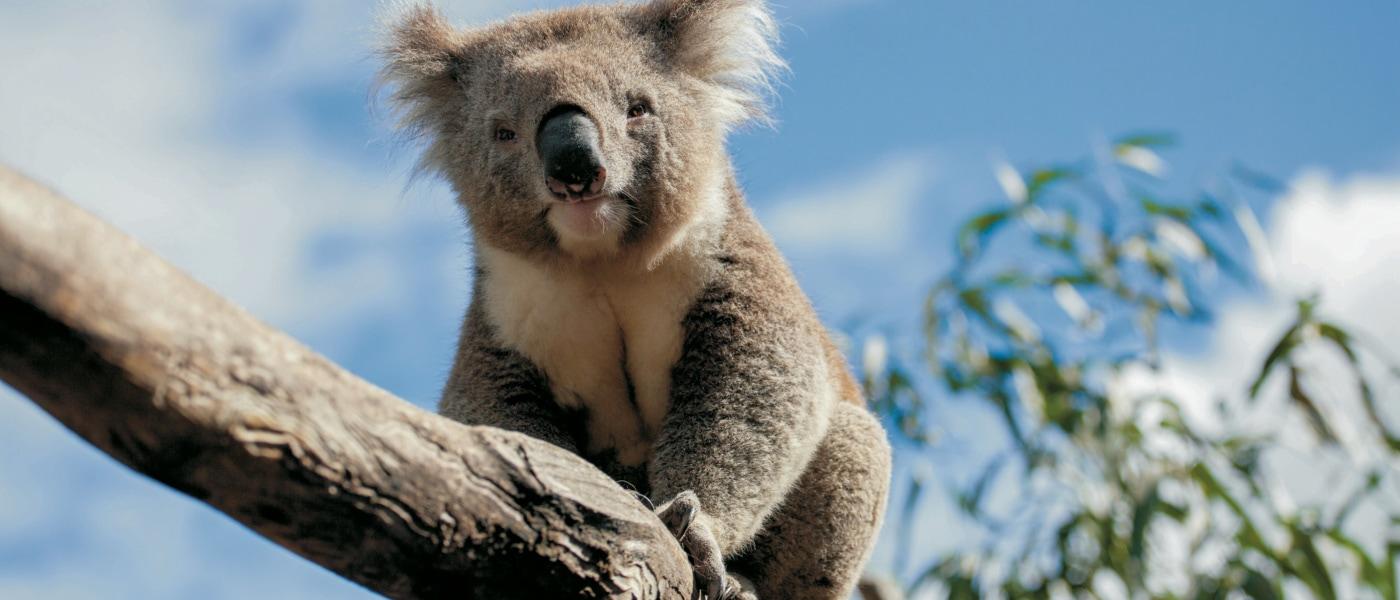 Koala auf einem Ast