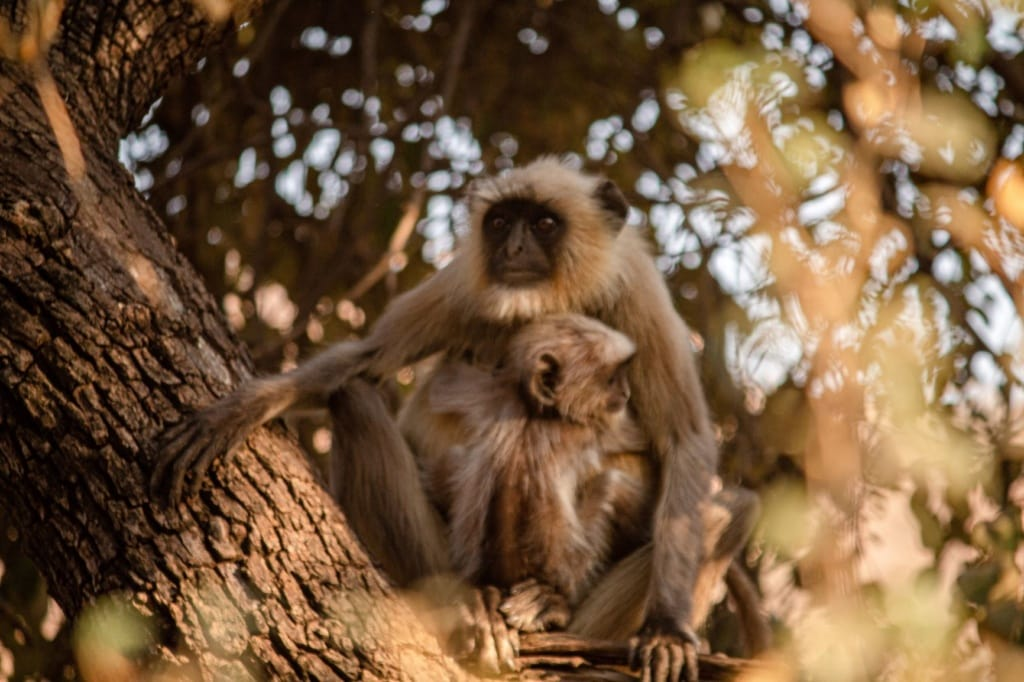 Affen in Ranthambore Nationalpark in Indien