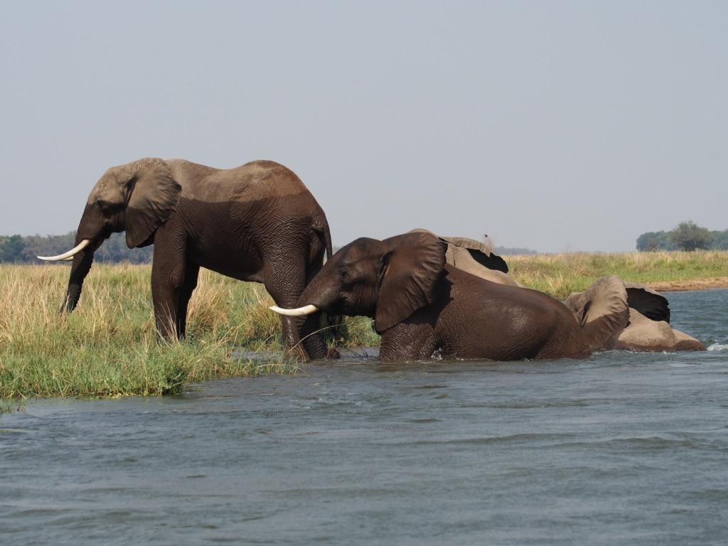 Eindrucksvoll steigt diese Gruppe junger Elefantenbullen vor dem Chikwenya Camp in Simbabwe aus dem Sambesi.