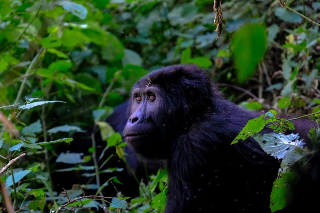 Gorilla im Dschungel in Uganda