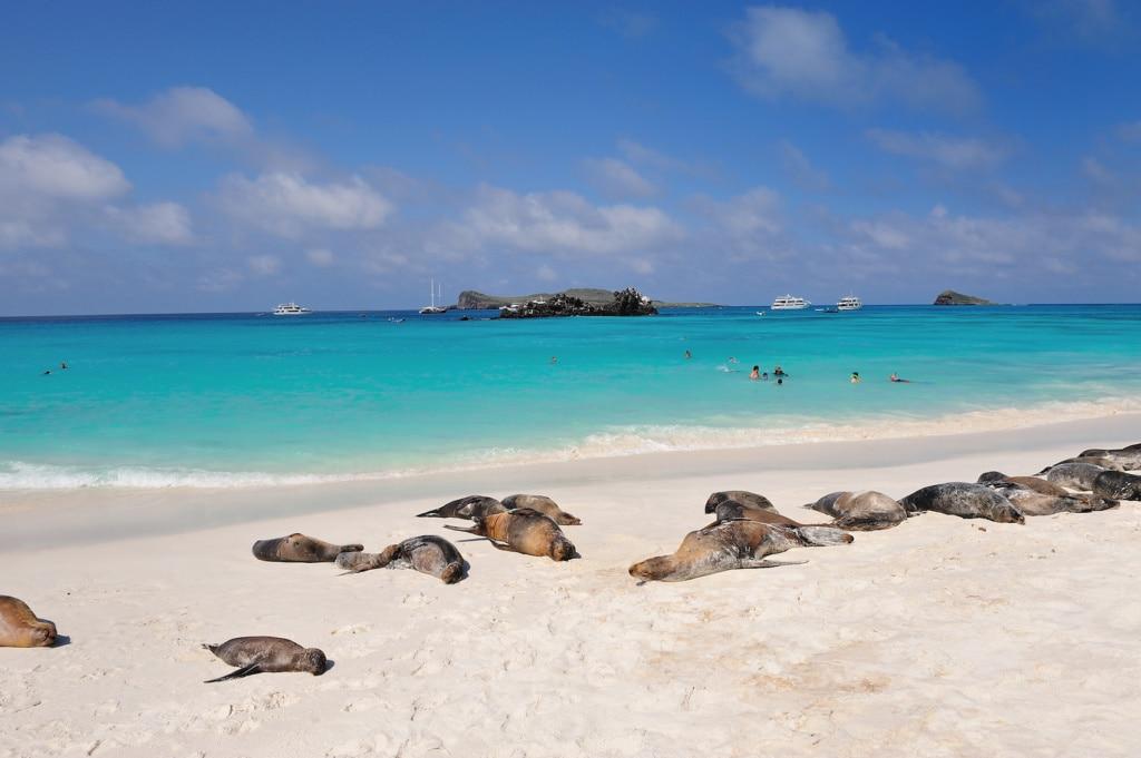 Galapagos-Seehunde sonnen sich am Paradiesstrand.