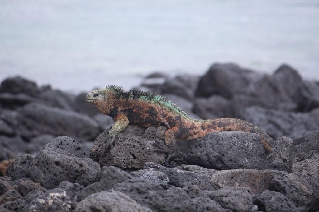 Auf dem Weg zur Pikaia Lodge auf Santa Cruz passiert man bereits die ersten tierischen Urzeitbewohner.