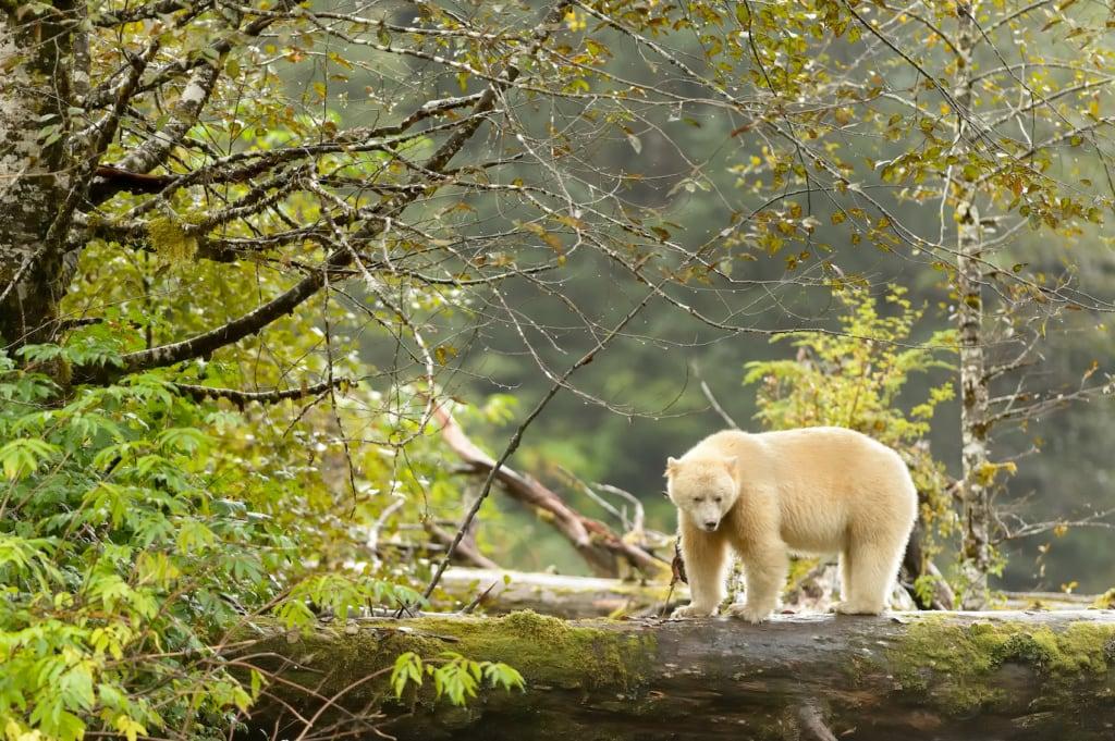 Der Kermode Bär ist auch als Geisterberg bekannt.