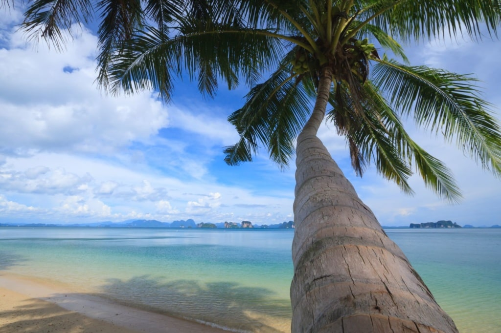 Kokosnusspalme am Strand von Koh Yao Noi