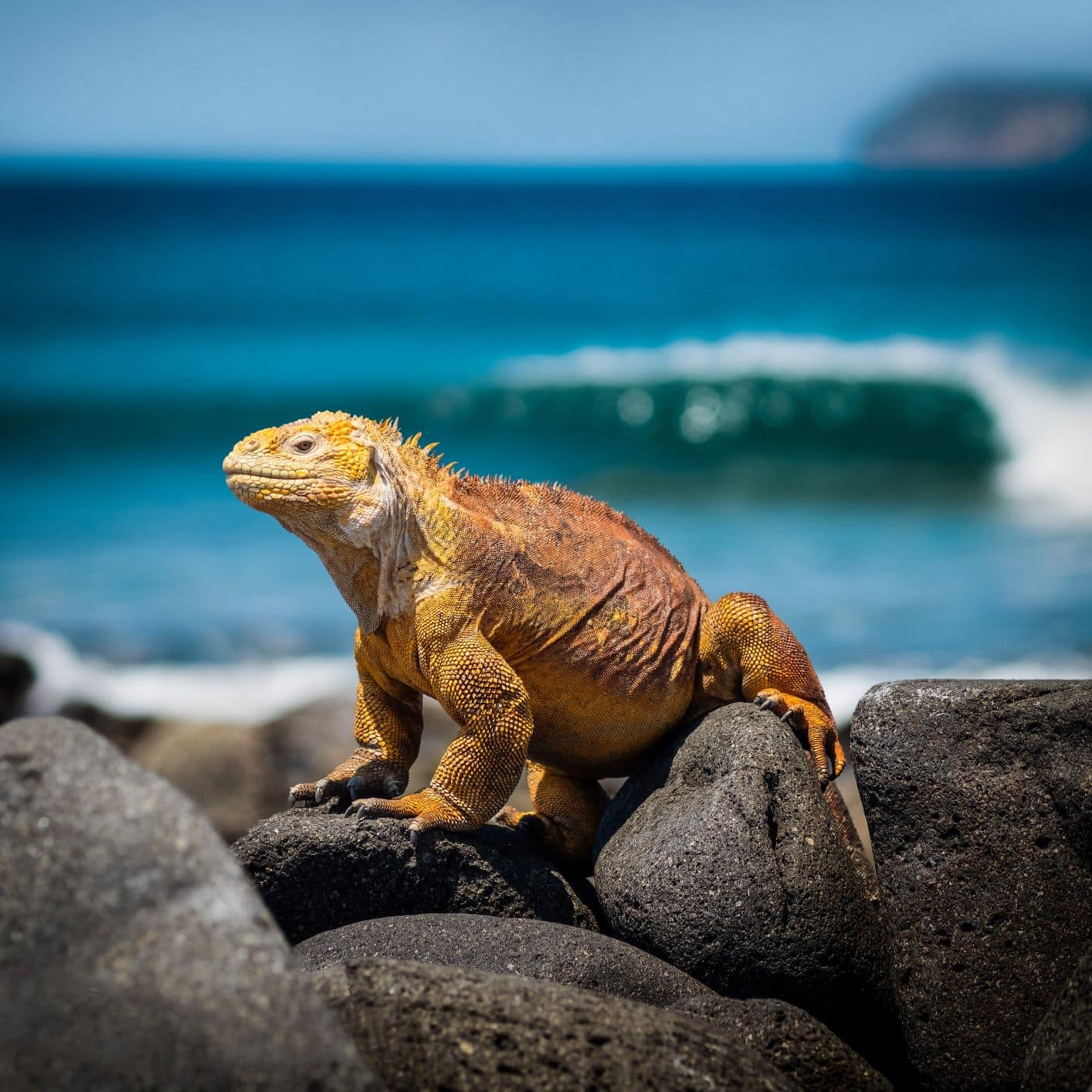 Meerechse auf den Galapagos-Inseln in Ecuador