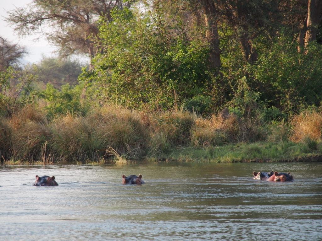 Neugierig äugen die Nilpferde die Gäste des Chikwenya Camp.