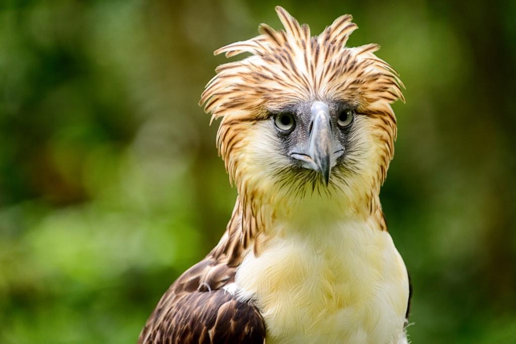 Der Philippine Eagle ist wunderschön – und leider stark bedroht.