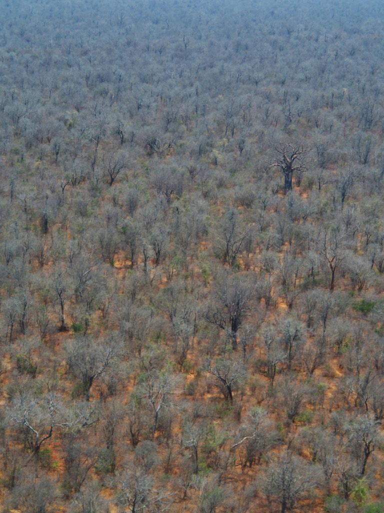 Beim Anflug auf das Chikwenya Camp in Simbabwe zeigt sich der namensgebende Affenbrotbaum.