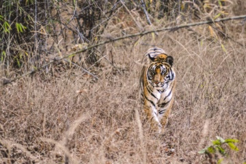 Tiger in Indien