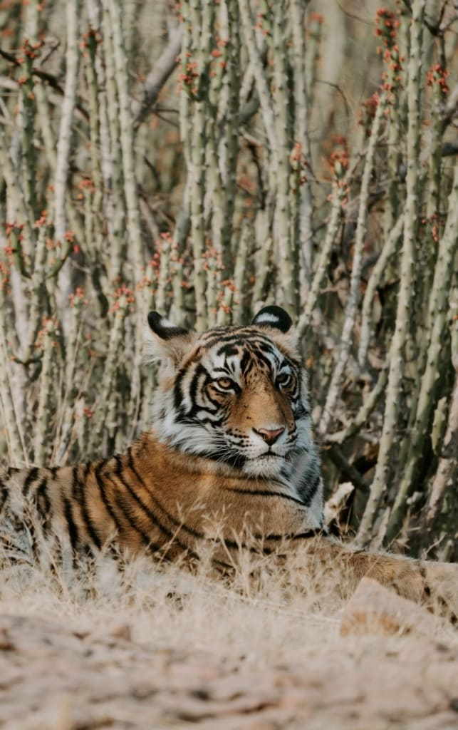 Tiger im Ranthambore Nationalpark in Indien