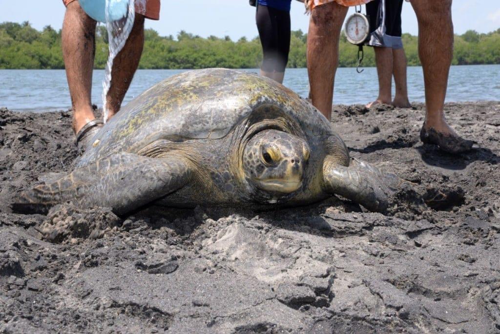 Grüne Meeresschildkröte in El Salvador
