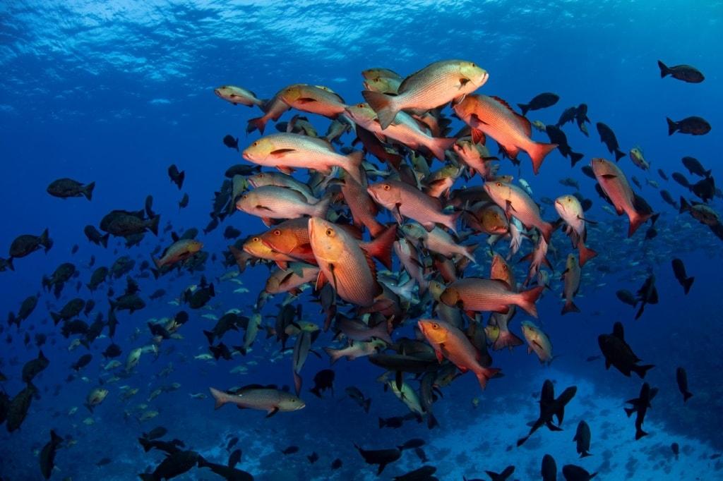 Fisch-Schwarm in den Gewässern vor der Insel Palau