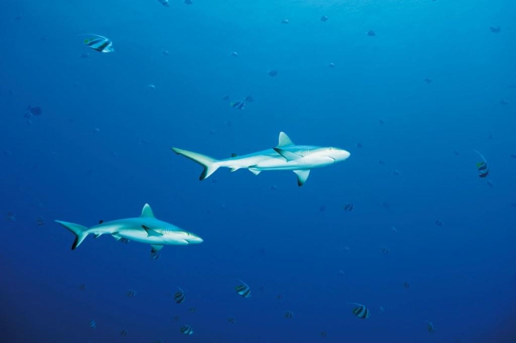 Riffhaie vor der Insel Palau im Pazifik
