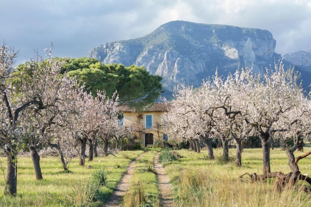Mandelblüten-Bäume auf Mallorca