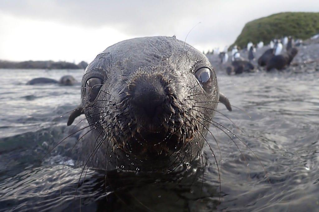 Nahaufnahme des Gesichts einer Robbe in der Antarktis