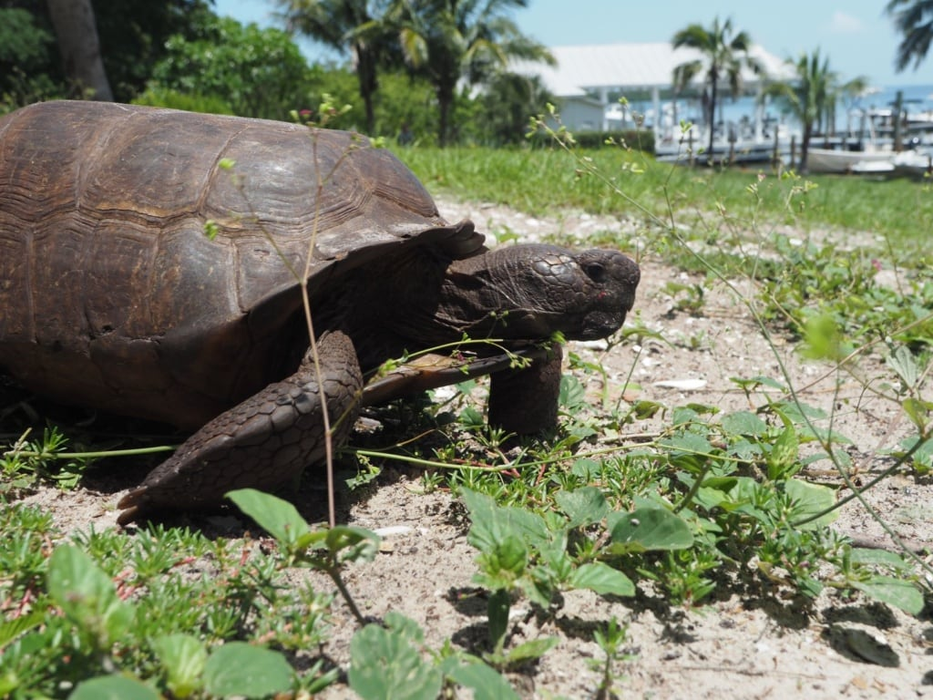 Schildkröte in Florida