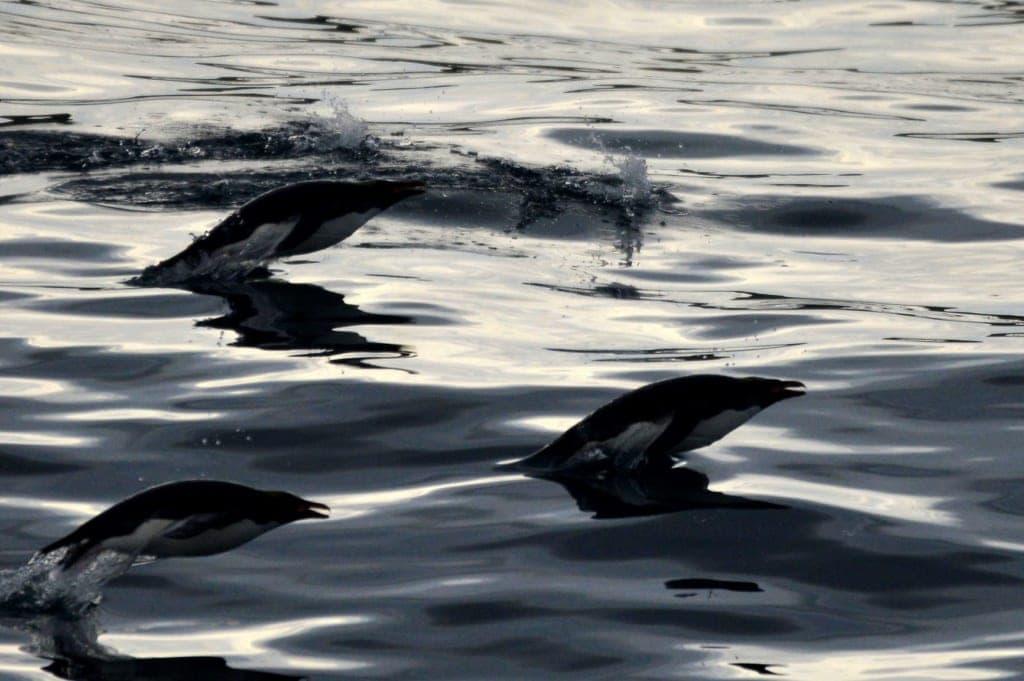 Flossen von Buckelwalen in der Antarktis