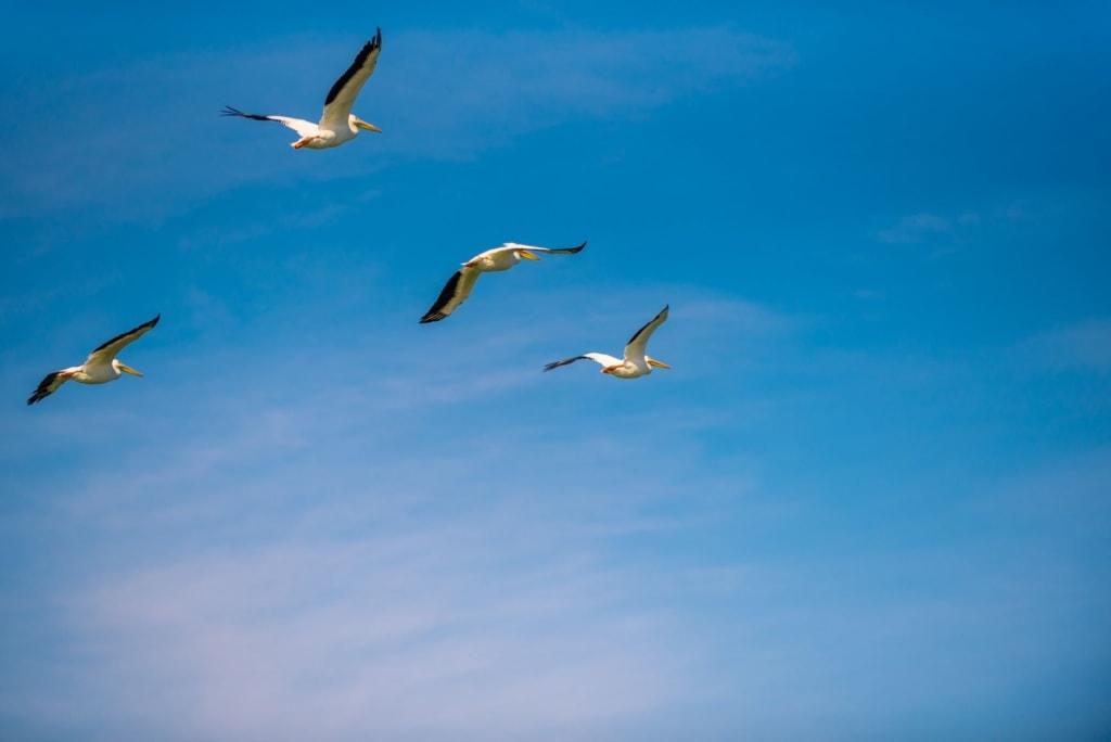Fliegende weiße Pelikane