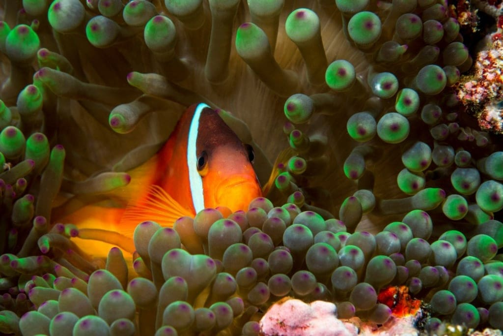 Goldfarbener Fisch in einem Korallenriff in Fidschi
