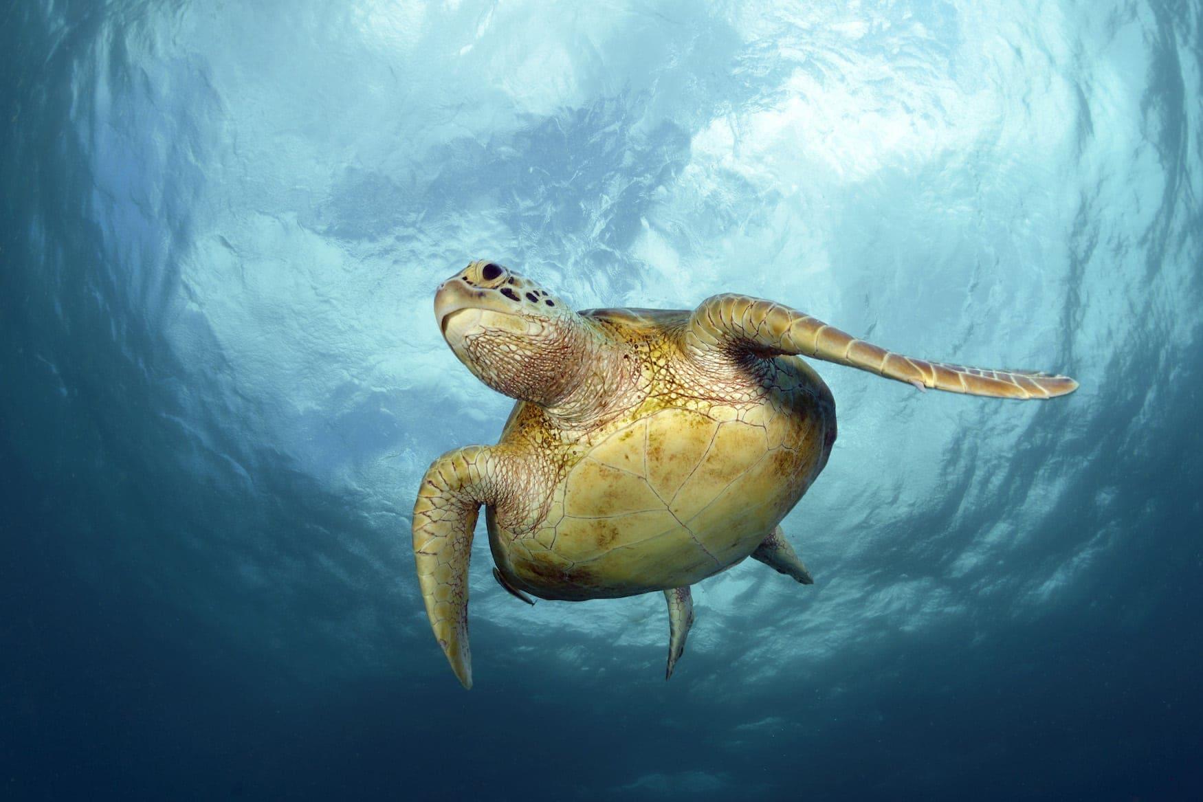 Suppenschildkröte auf Negros - Philippinen