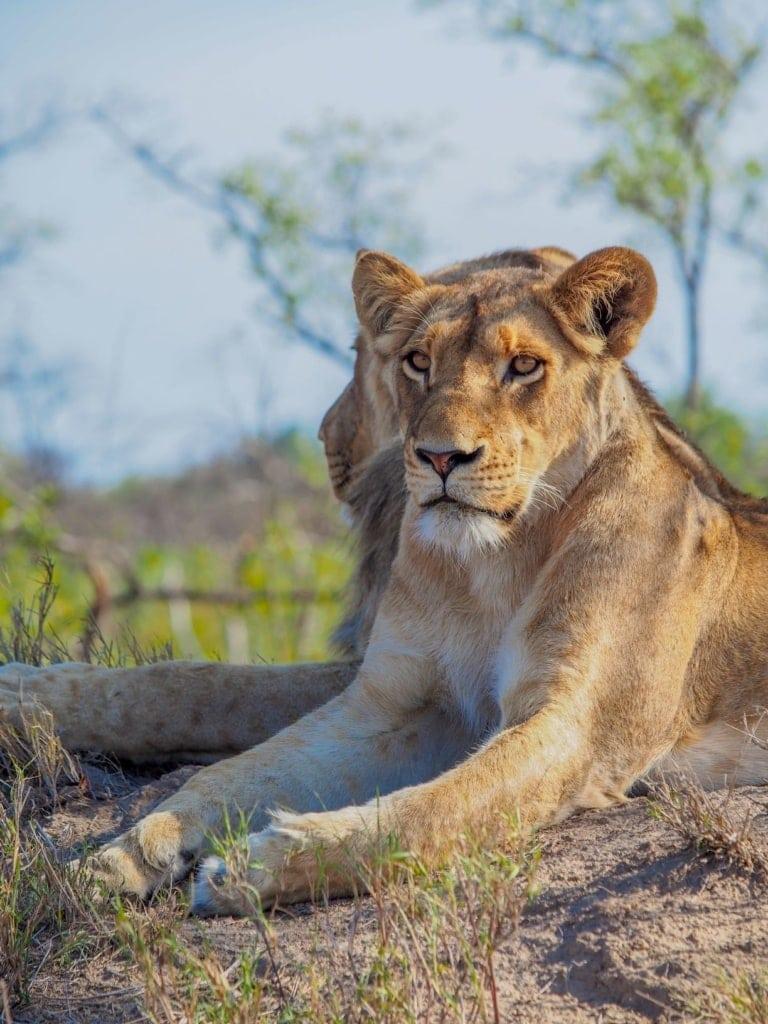 Löwe in Sabi Sabi, Südafrika