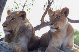 Löwen im Sabi Sabi Park