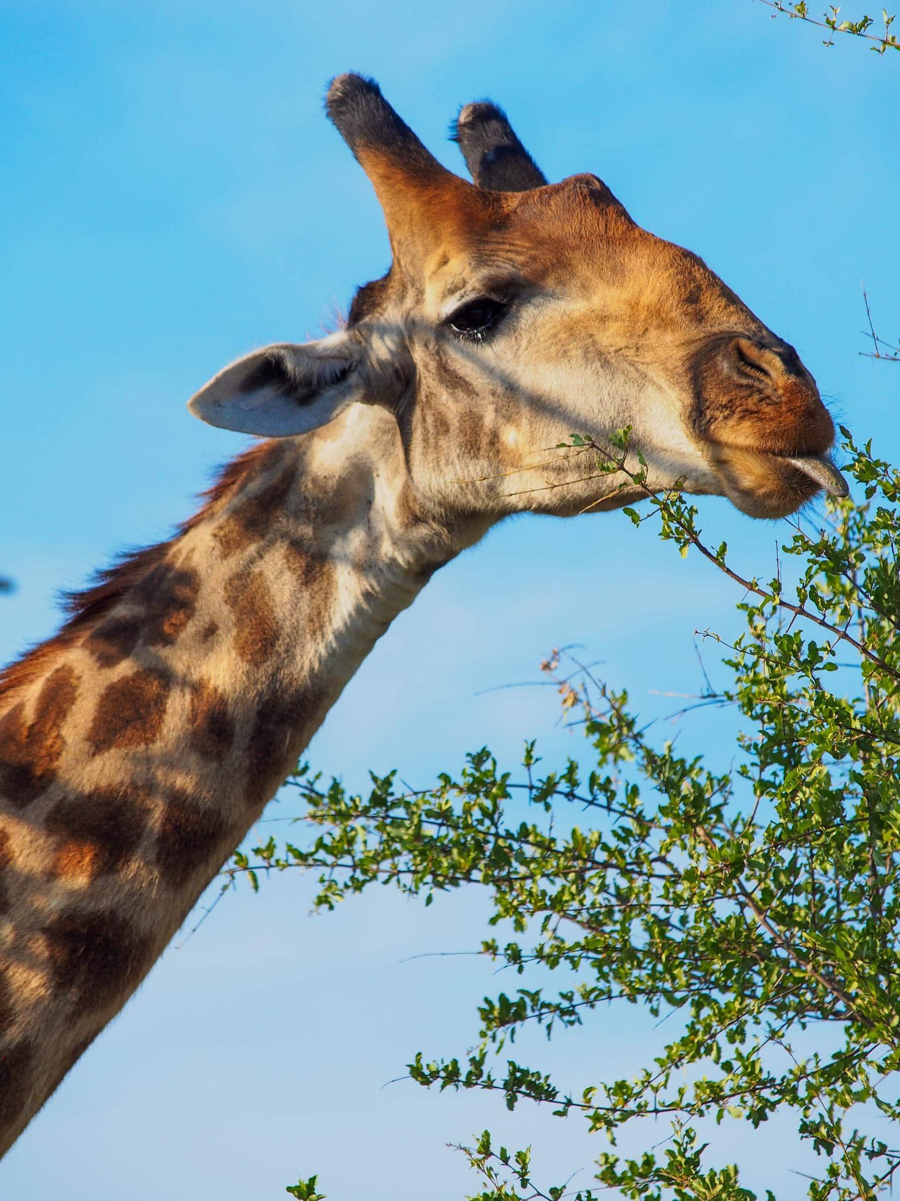 Giraffe, Afrika, Südafrika, Safari