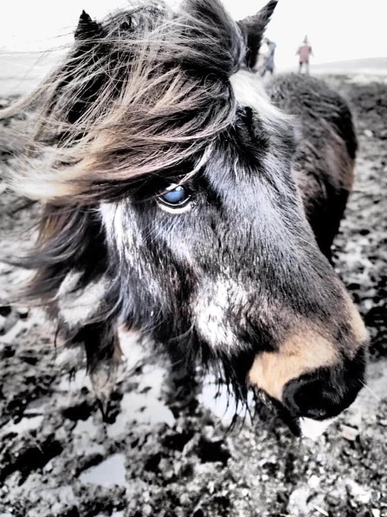 Tierische Erlebnisse: Auf den Shetlandinseln ist das Leben wahrlich kein Ponyhof, die Inseln lohnen trotzdem den Besuch.