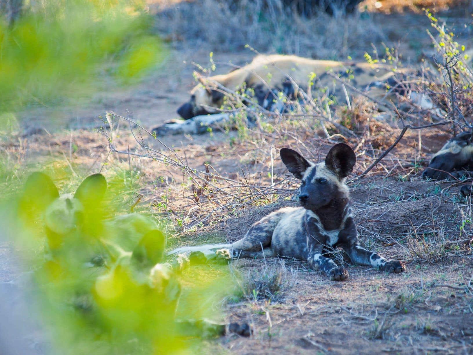 Wildhund in Sabi Sabi