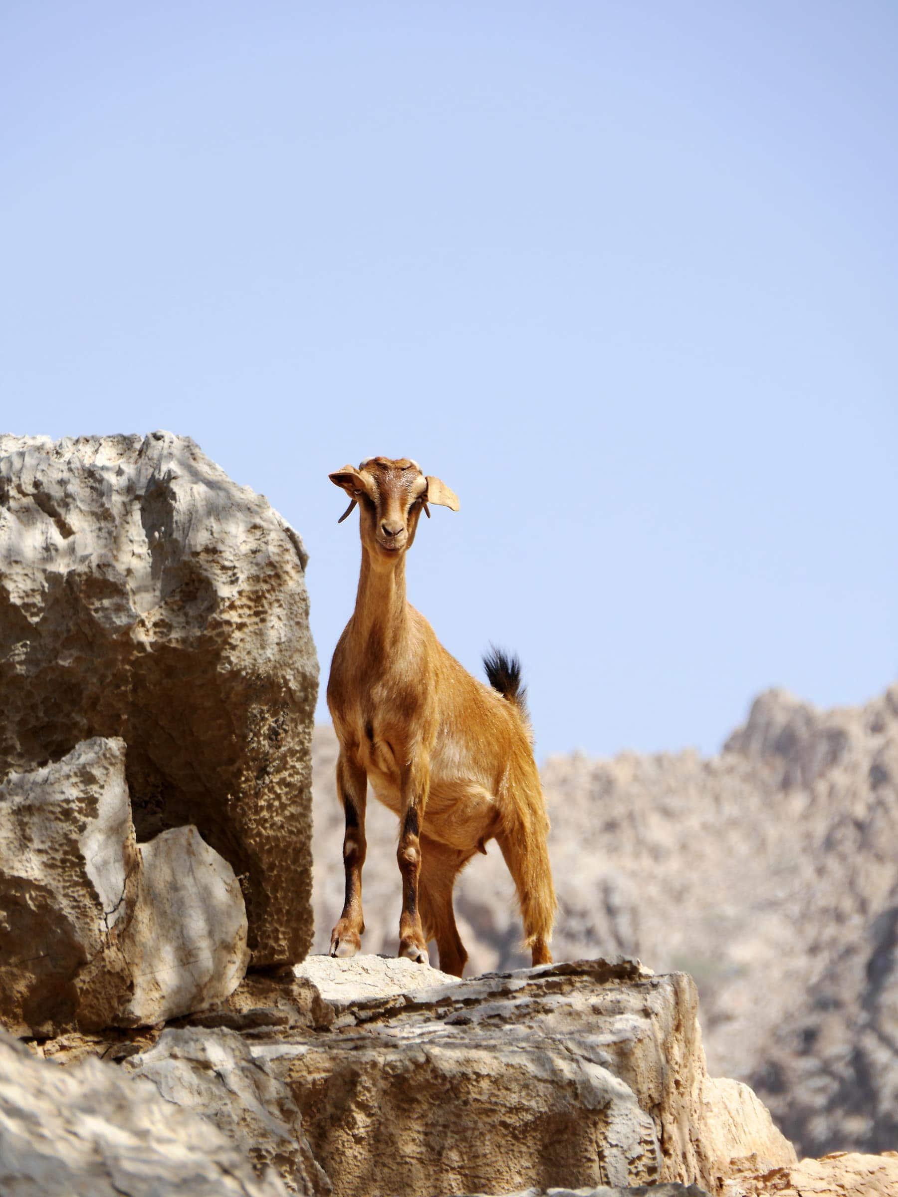 Ziege in der Bergwald des Oman