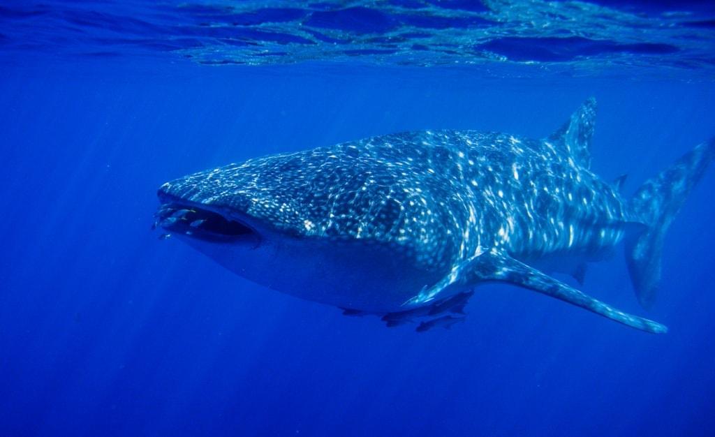 Die Walhaie im Cape Range Nationalpark sind ein Erlebnis,