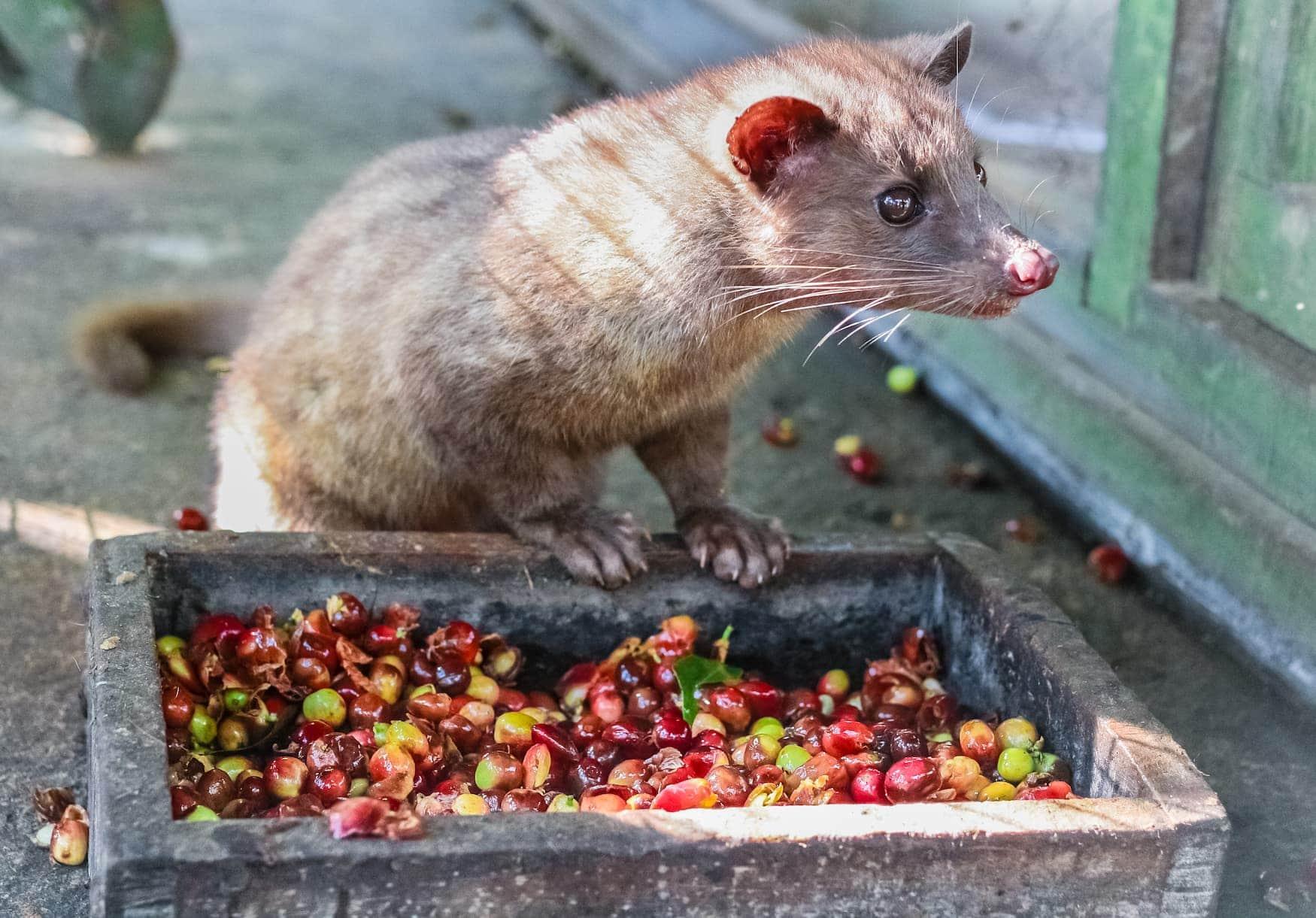 Schleichkatze - Katzenkaffee aus Vietnam