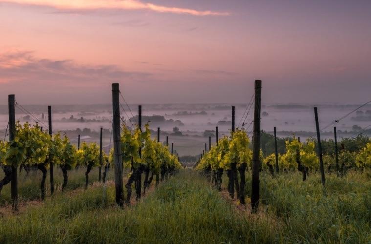 Weinstock in der Pfalz