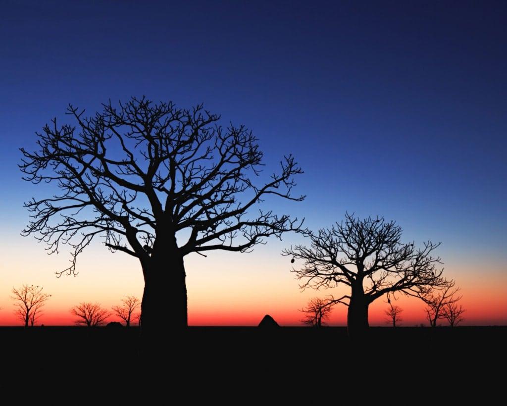 Die gigantischen Affenbrotbäume in Australien sind tolle Fotospots, besonders zum Sonnenuntergang.