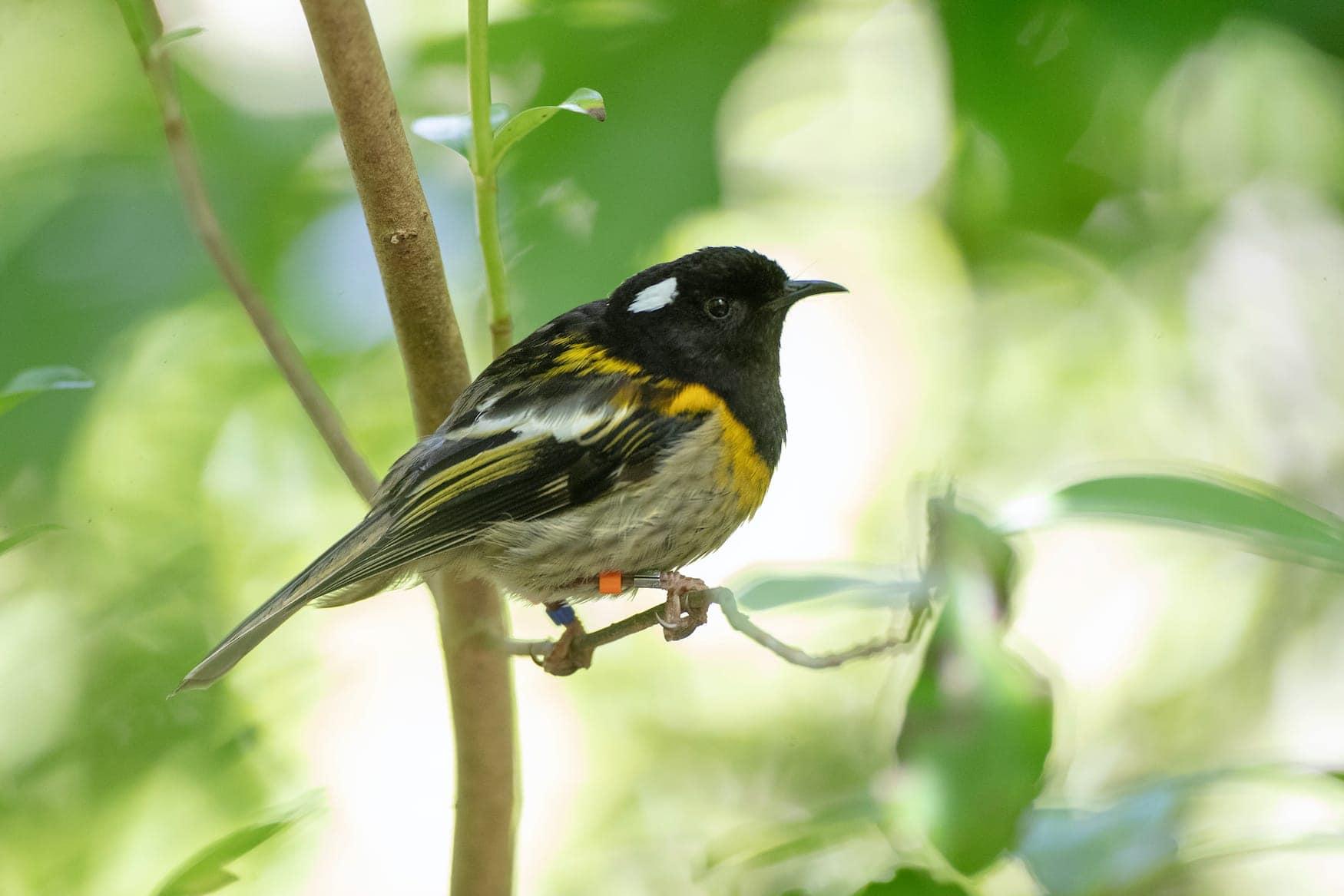 Hihi-Vogel auf Tiritiri Matangi in Neuseeland