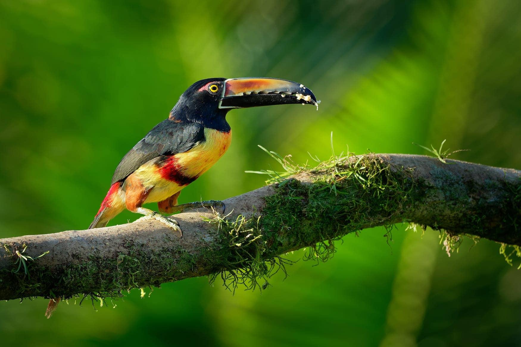 Bunter Tukan auf Ast in Regenwald in Panama
