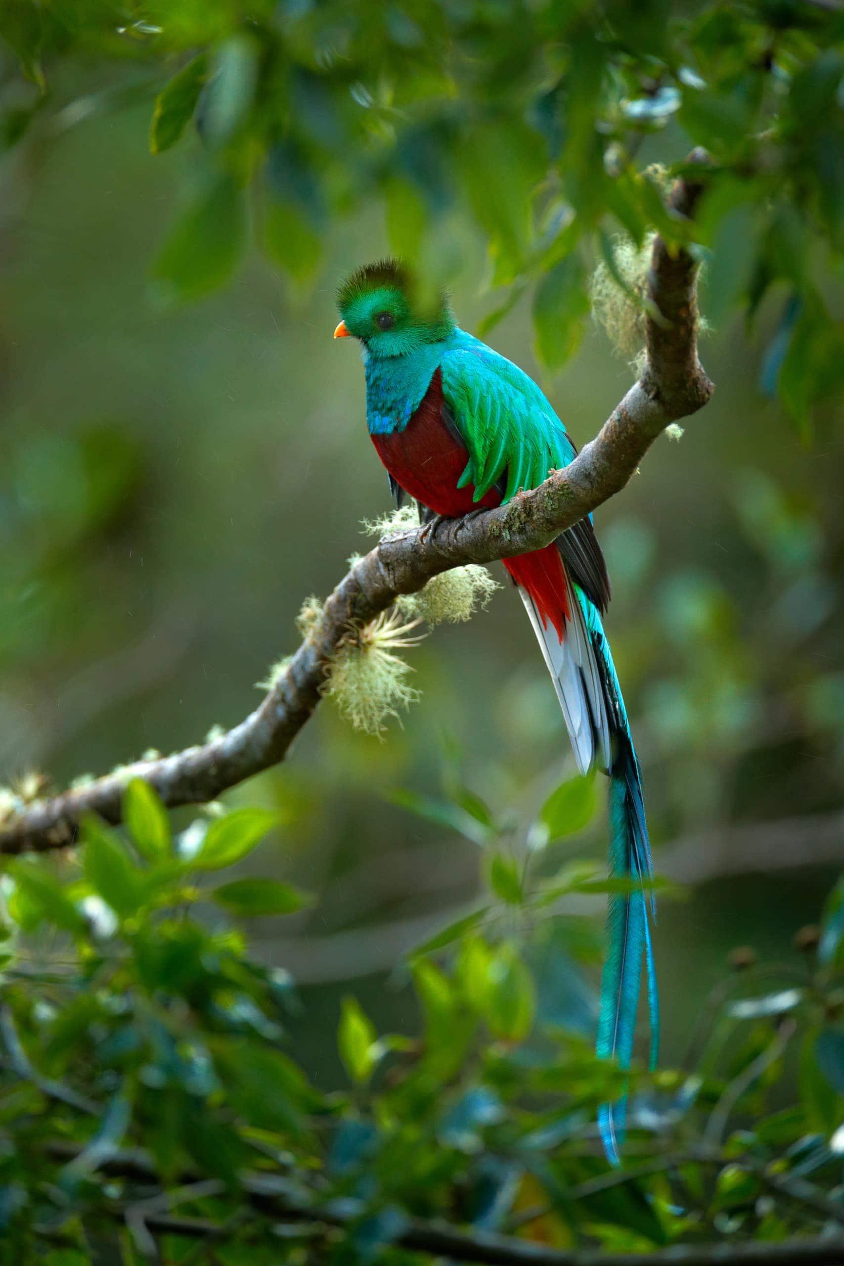 Türkisfarbener Quetzal sitzt zwischen Ästen in Panama