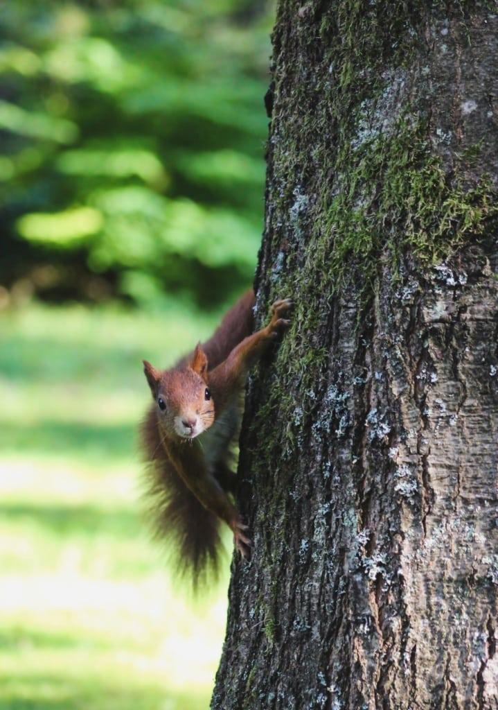 Eichhörnchen an Baum