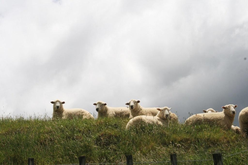 Schafe säumen den Wegesrand bei der Wanderung auf den Mount Hikurangi.