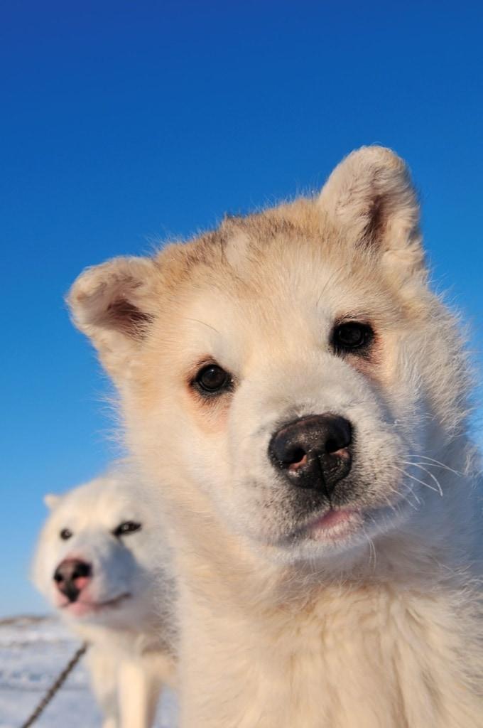 Schlittenhunde auf Grönland