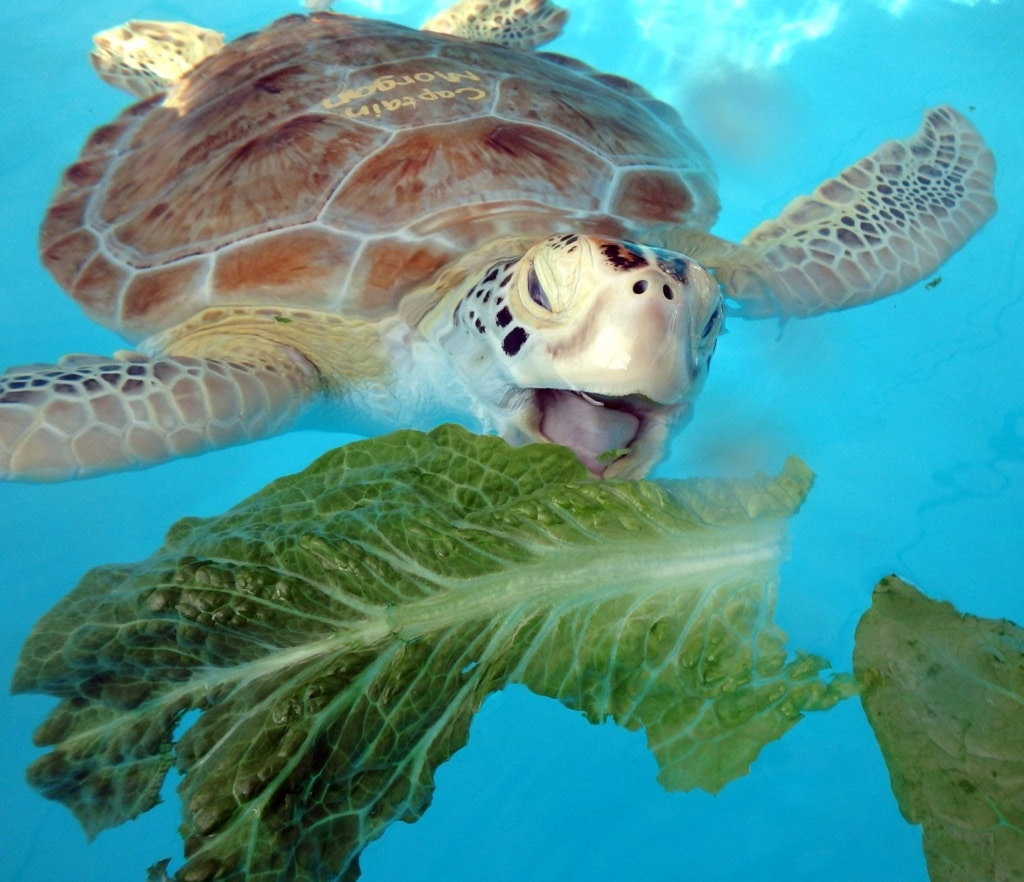 Florida Keys: Meeresschildkröte isst Salat im Wasser