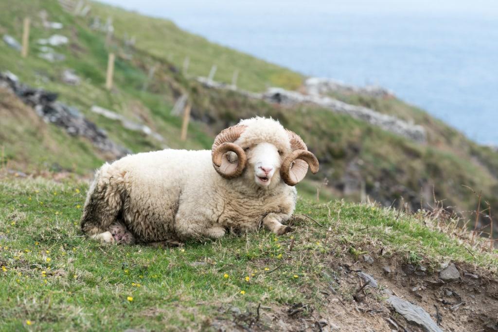 Schafe findet man zur Genüge auf der Halbinsel Dingle in Irland.